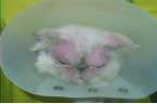 Dermatite atopique des yeux chat d'himalaya IDROGEN