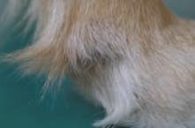 dermatite hypertrophie chez le chien golden retriever
